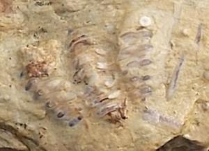 Ceraurus sp. Trilobite