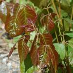 Reddish Poison Ivy