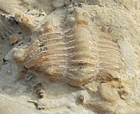 Celtencrinurus Trilobite- very rare!