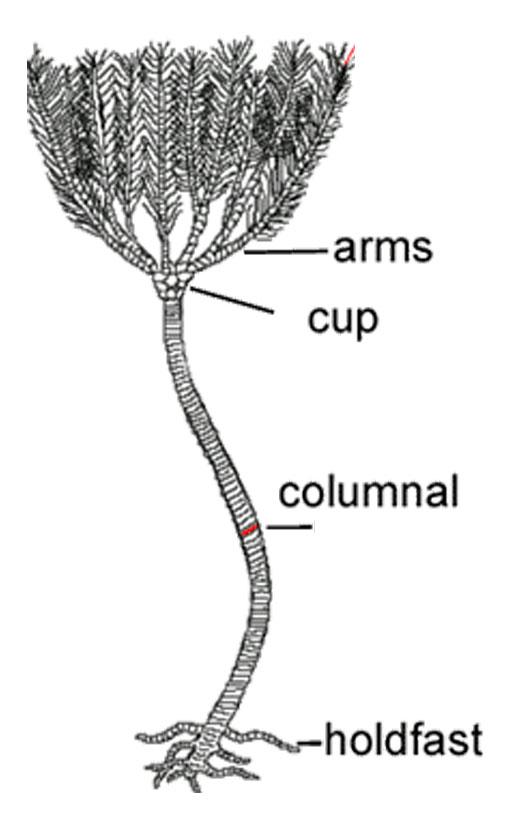 crinoid fossil diagram
