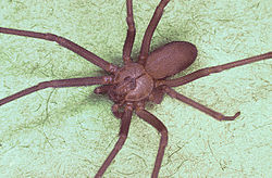 Brown Recluse Spider from Wiki