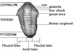 Flexicalymene Anatomy