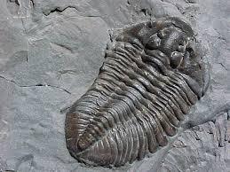 Flexicalymene Fossil Whole