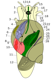 Anatomy of an Aquatic Snail