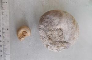 Holopea bottoms