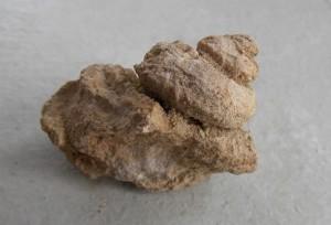 Trochonema sp. 2 front