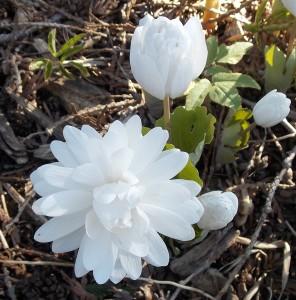 Bloodroot double flowering