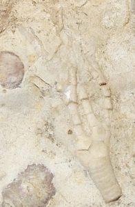 Praecupulocrinus conjugans